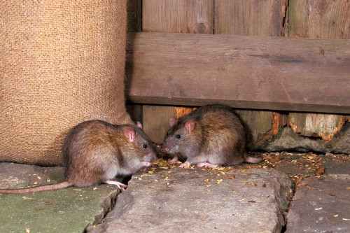 rats in the shed