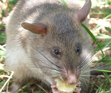 what rats eat in the garden